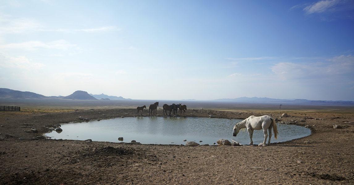En liten flock vildhästar har hittat vatten i ett uttorkat område i Utah.