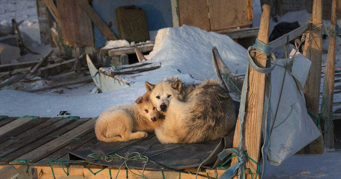 Grönländska är ett språk med många q, som i Qaanaaq där de här två slädhundarna bor.